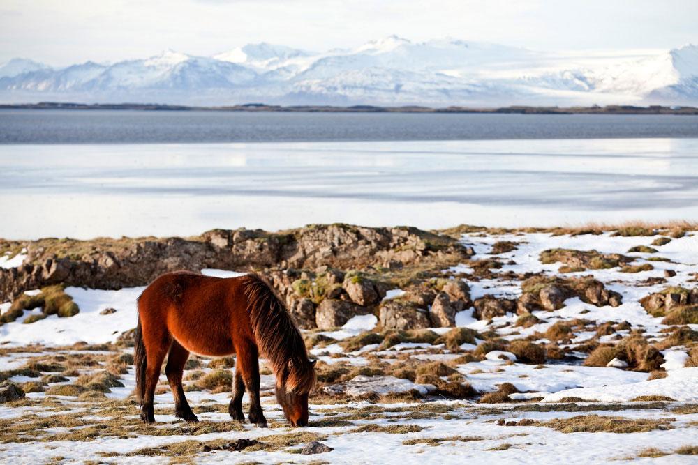 Vakantie IJsland: de lieve IJslander paarden