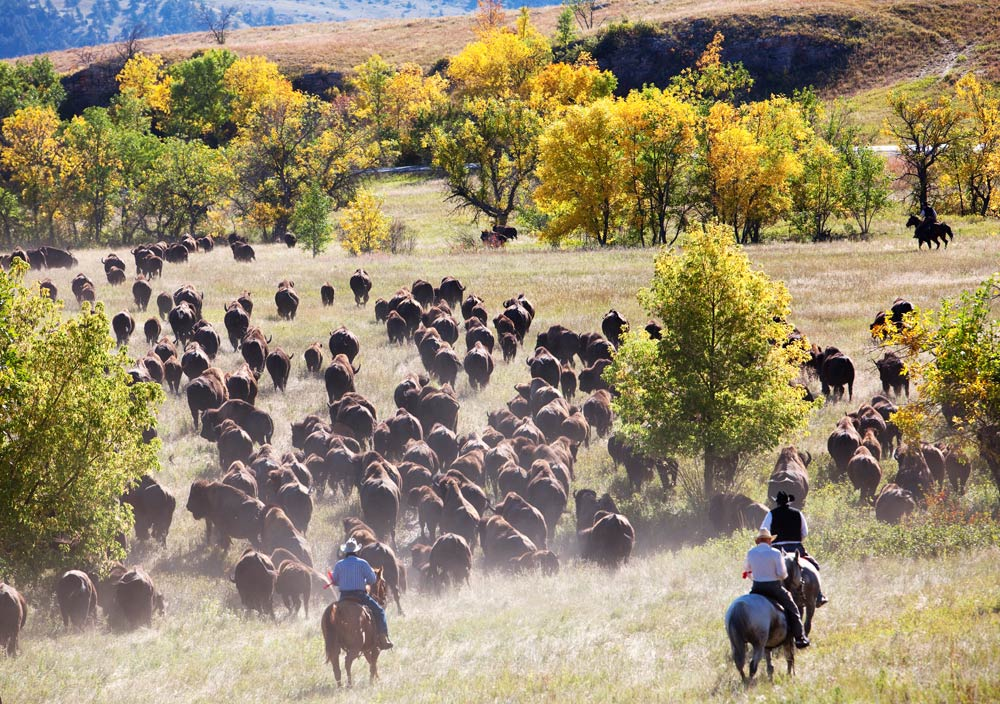 Buffalo roundup in South Dakota, Verenigde Staten