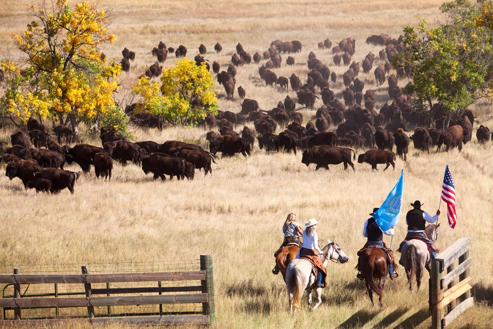 Buffalo roundup in South Dakota, Verenigde Staten