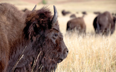 In de ban van de bizon – de buffalo roundup