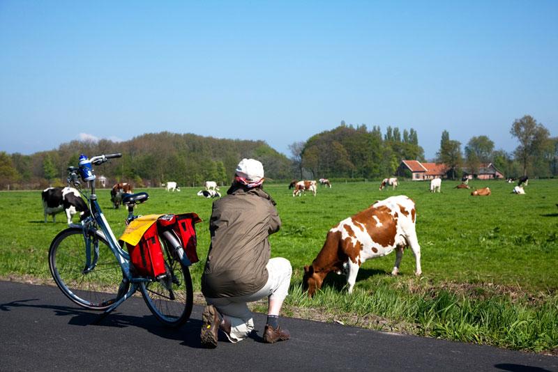 toerist fotografeert koeien in de wei