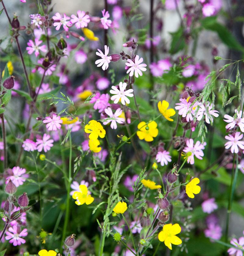 Val di Fassa, Italie, bloemen, veldbloemen