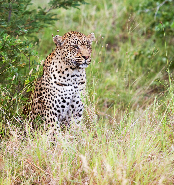 Luipaard in Timbavati Nature Reserve, Zuid-Afrika