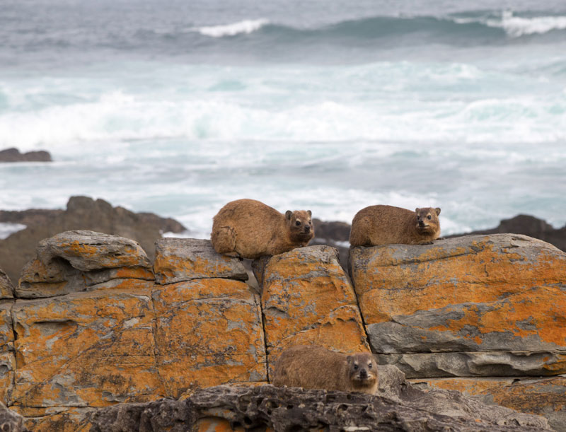 Zuid-Afrika: Klipdassies in Tsitsikamma National Park