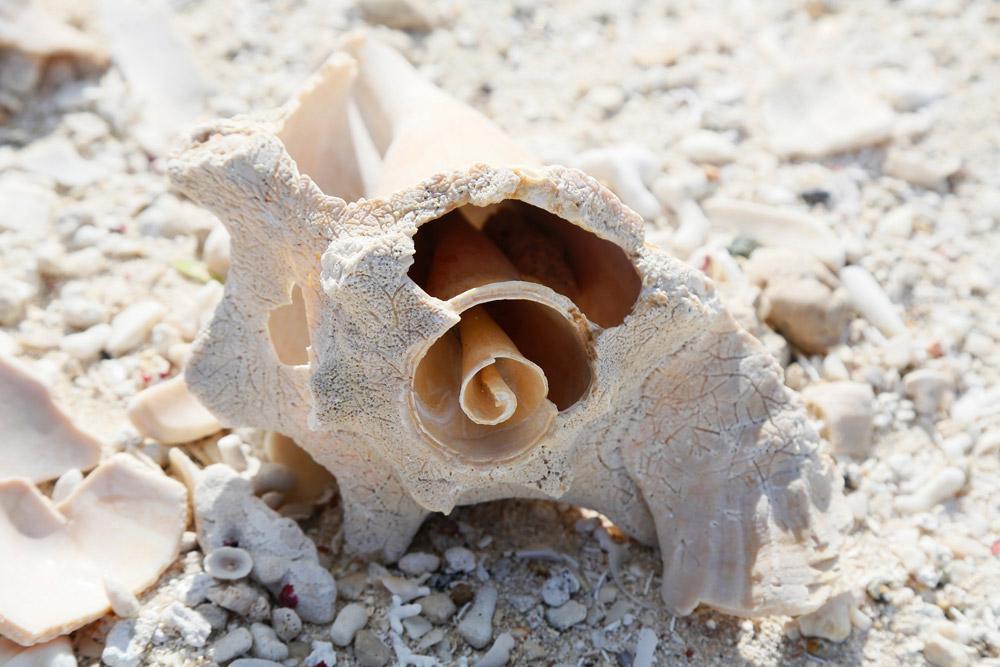 Je ziet veel van dit soort prachtige schelpen