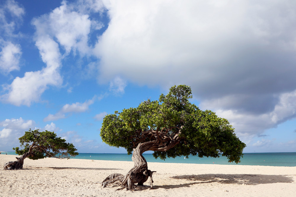 Strand top 5 Aruba: de beroemde fofoti-bomen op Eagle Beach