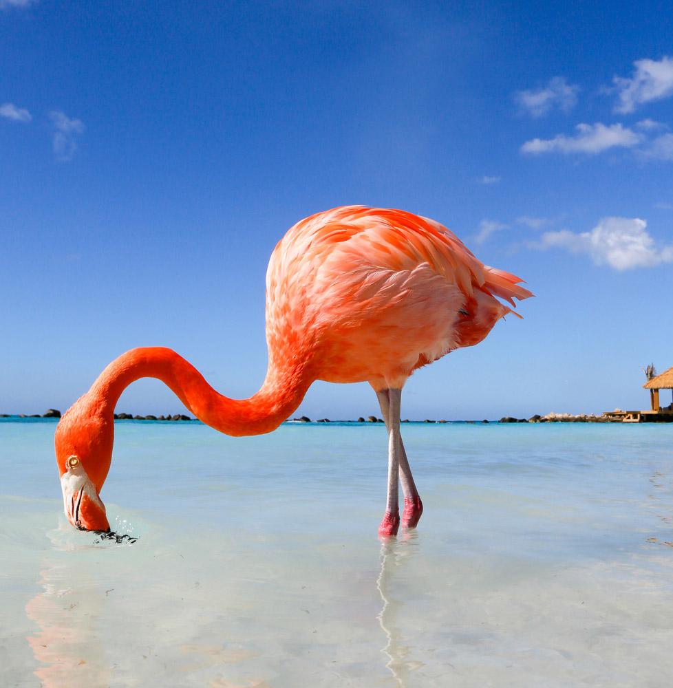 Strand top 5 Aruba: in goed gezelschap op Flamingo Beach
