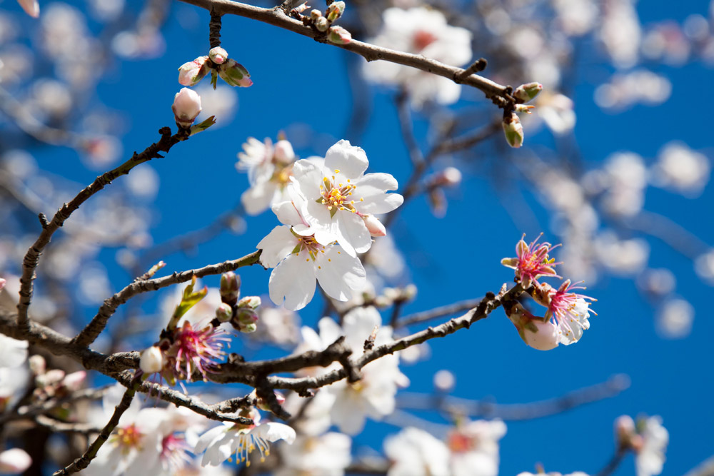 Bloesem in het vroege voorjaar, Rondreis Marokko, koningssteden, camperrondreis,