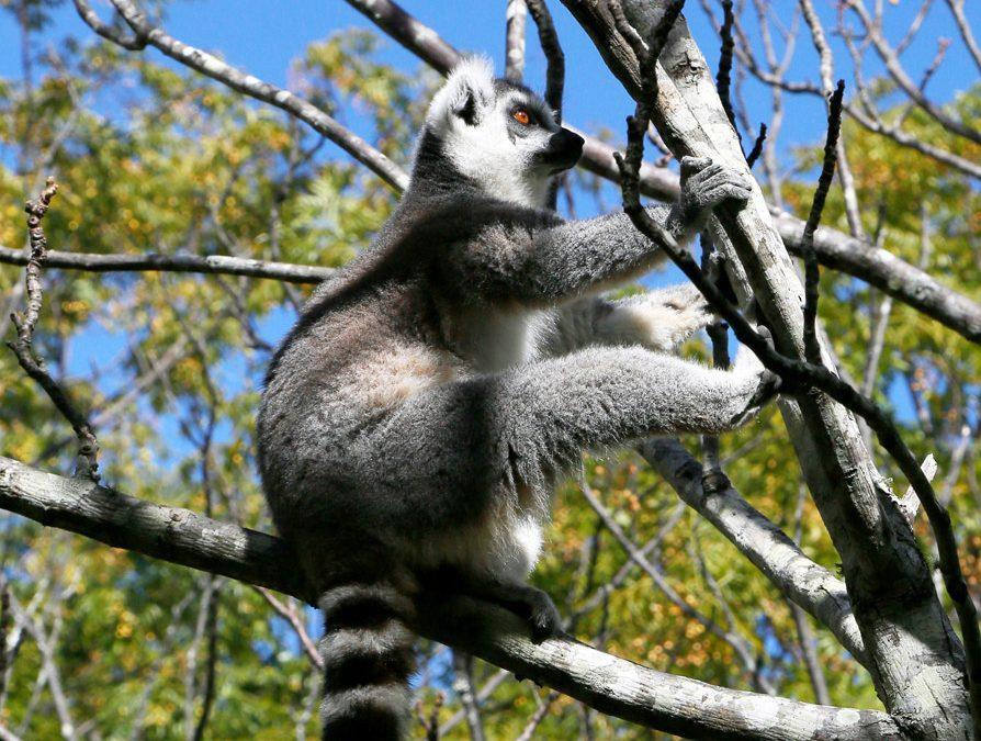Rondreis Madagascar: ontmoet de lemuren!