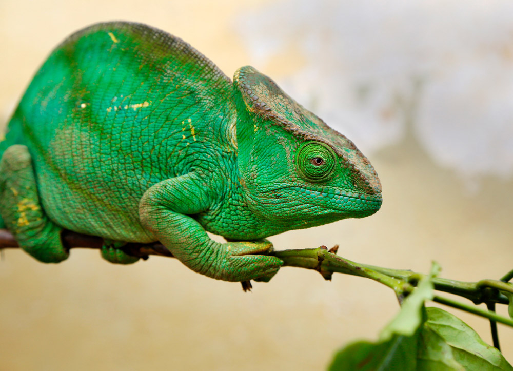 Close-up van een kameleon in Madagascar, Madagascar, Madagaskar, rondreis, vakantie, rondreizen, just like to travel, reisblog, reisfotografie, tavelblog, reisjournalist,