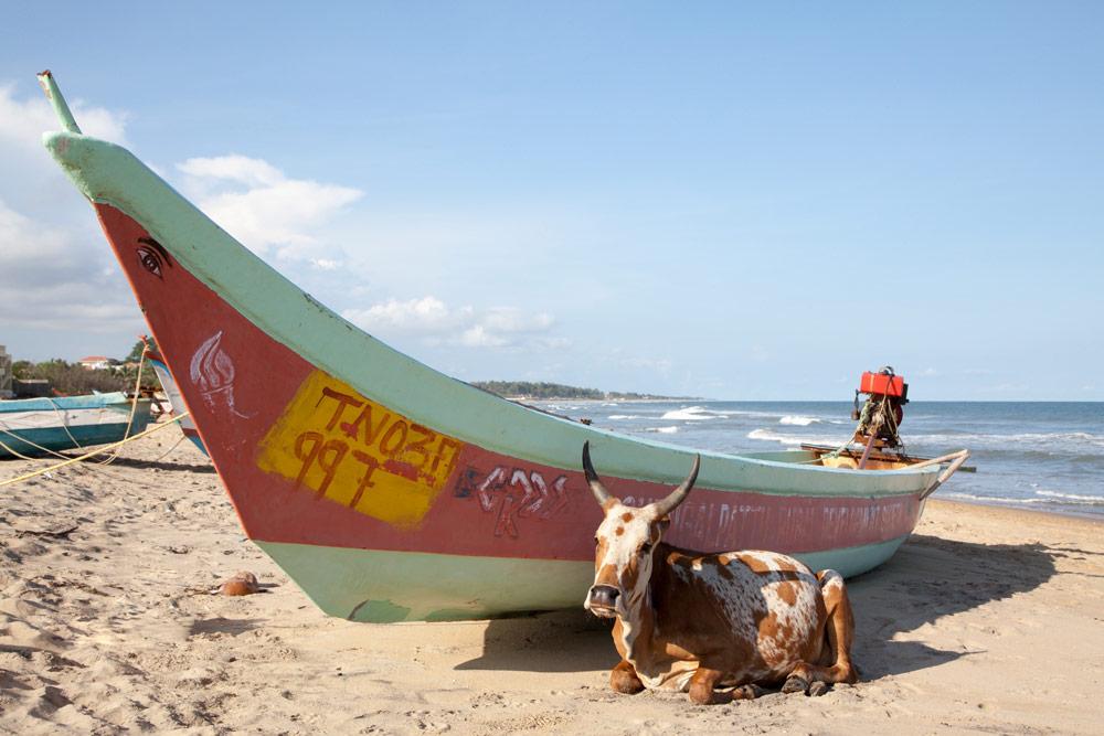 Heilige koeien op het strand in Mamallapuram, Tamil Nadu, India