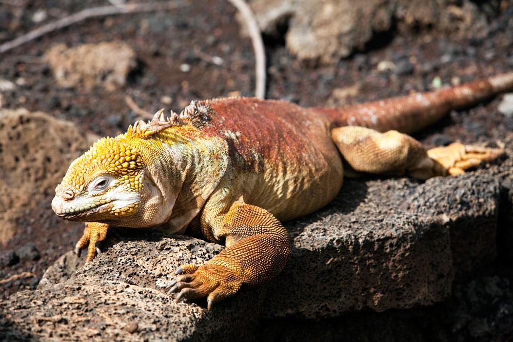 Kleurrijke leguaan op Santa Cruz, Galapagos. Rondreis Galapagos eilanden, Ecuador, cruise, expeditie